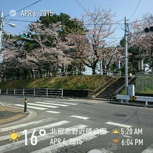近隣公園の桜
