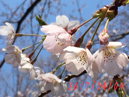 北習志野近隣公園桜01