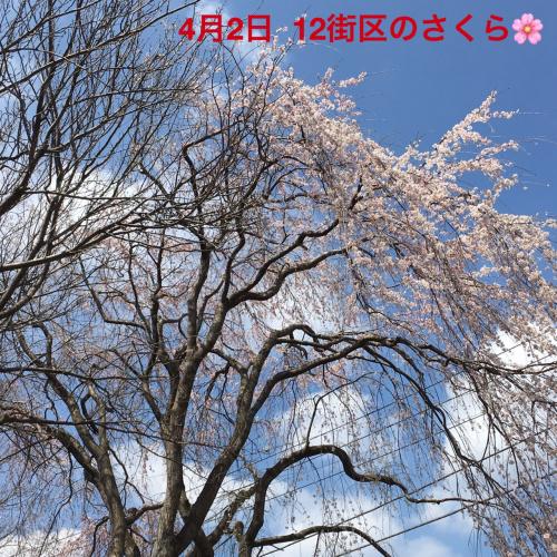 三街区の桜01
