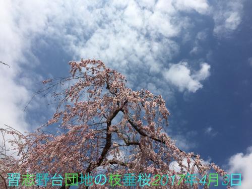 三街区の桜02