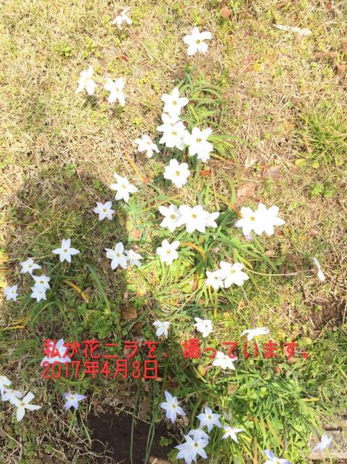 三街区の桜04