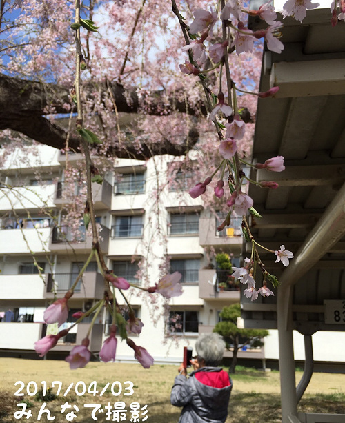 三街区の桜05