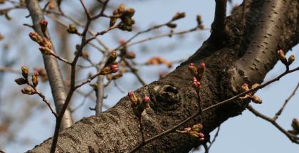 桜はまだツボミです