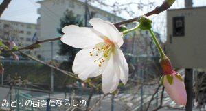 桜が咲き始めましたね